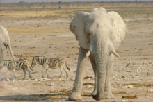 Elephant at the Etosha Pan