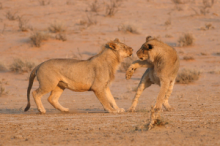 Young male lions playing