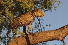 Leopard seen in an early morning game drive safari in Sabi Sand Game Reserve