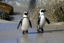Jackass penguins at Boulders Beach in Simons Town