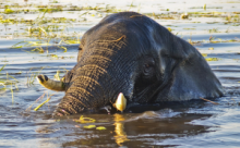 Elephant bathing in the Chobe River